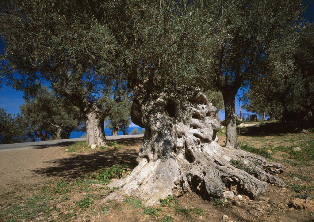 Stock Photo: 1558-102596 Spain, island Majorca, Olivenhain, Detail,   , grove, olive trees, olive trees, Olea, olive cultivation, plants, nature, vegetation, mediterran, symbol, trees, tree-trunks, ages, knobbily, endurance,