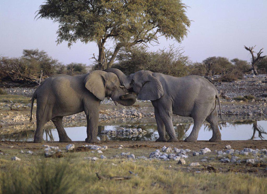 Stock Photo: 1558-104116 African elephants, wareserstelle,