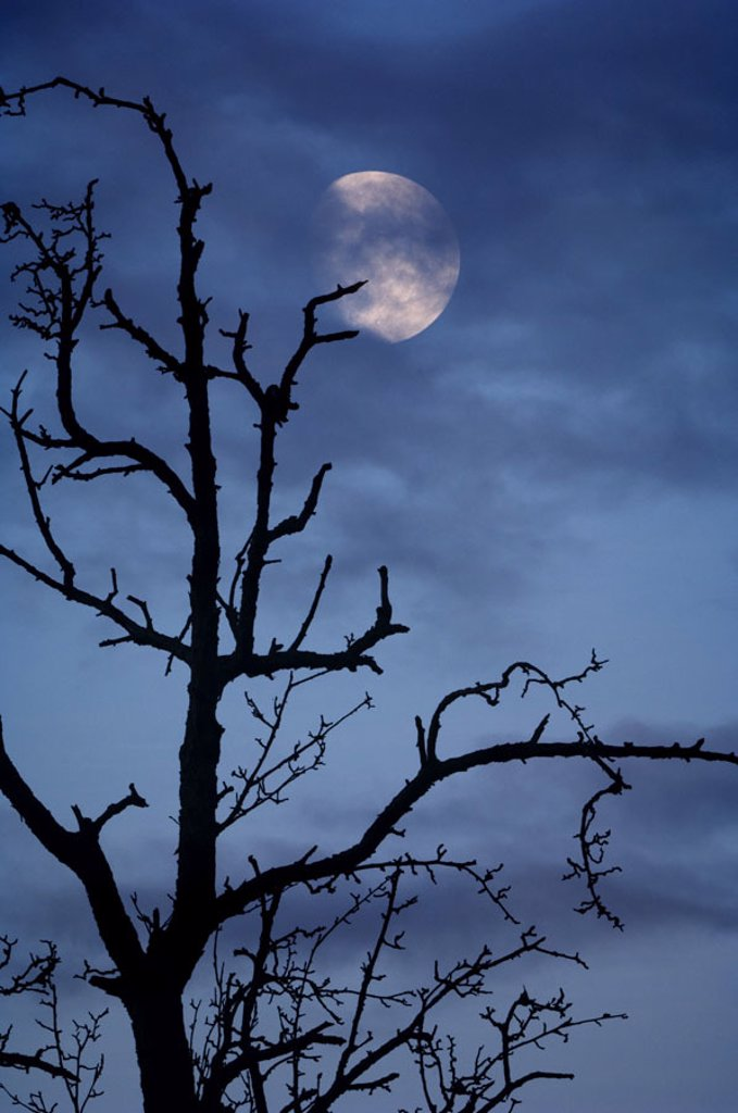 Tree, bald, silhouette, heaven,  cloud, moon,  [M],  Deciduous tree, old, knobbily, branches, branches, winters, late autumn, evening, night, moon night, concept, darkness, immensely, mystically, mysteriously, BT, color mood, color, blue, : Stock Photo