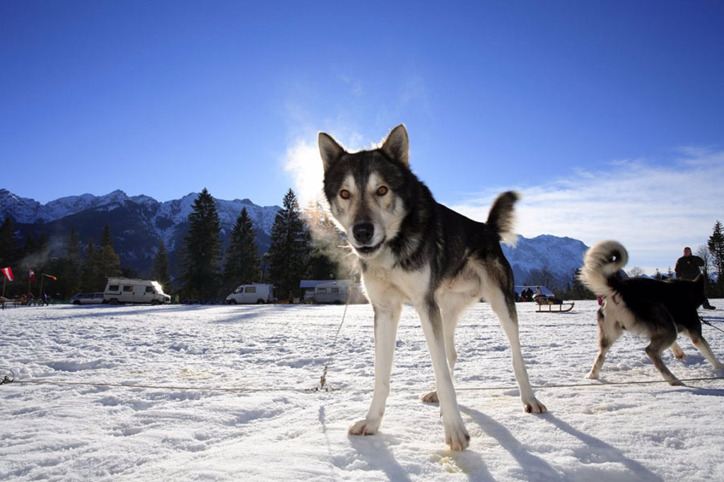 Germany, Upper Bavaria, embankment district,  highland, sleigh dogs, back light,  Winters,  Bavaria, Werdenfelser country, Bavarian Alps, Karwendel, winter landscape, snow surface, animals, dogs, little run, ed, symbol, sleigh dog races, dog races, match, : Stock Photo