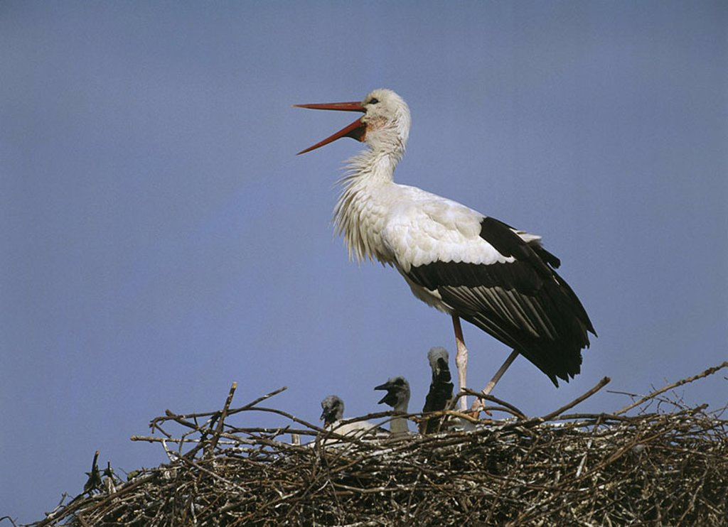 Stock Photo: 1558-107760 Storchennest, white-stork, Ciconia ciconia, young, wildlife, guard Wildlife, animals game-animals animals birds waders, Störche, Ciconiidae, migratory birds, Nistplatz, nest, boys, Aufzucht, type of animal, threatens, endangers, species-protection, white