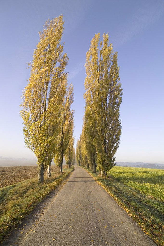 Country road, poplar-avenue, series, street, avenue, tree-avenue, trees, poplars, Populus italica, Populus nigra, foliage-trees, fields, season, autumn, row, leaves, loneliness, nobody, distance, vanishing point-perspectives, : Stock Photo