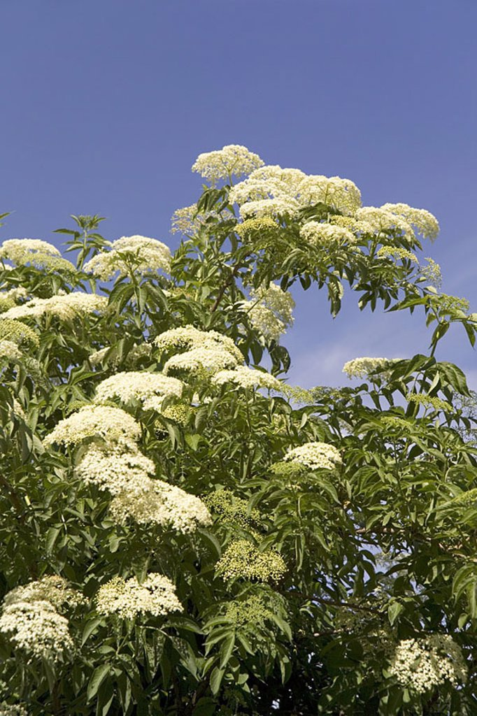 Elderberry-shrub, Blütendolden, detail, plant, shrub, elderberries, leaves, Holderbusch, elderberry-blooms, Trugdolden, Dolden, blooms, knows salvation-plant, Holler, medicine-plant, prime, Holderbaum Holderbusch Sambucus nigra summers outside, : Stock Photo