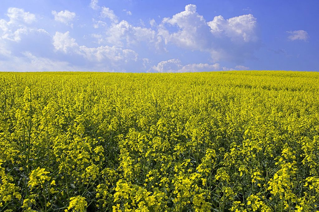 Stock Photo: 1558-108841 Rap-field, cloud-heavens, nature, landscape, field-landscape, field, economy, agriculture, cultivation, agriculture, useful plants, culture-plants, raps, Brassica napus, rap-cultivation, blooms, yellow, season, summers, sunny, wideness, distance, heavens,