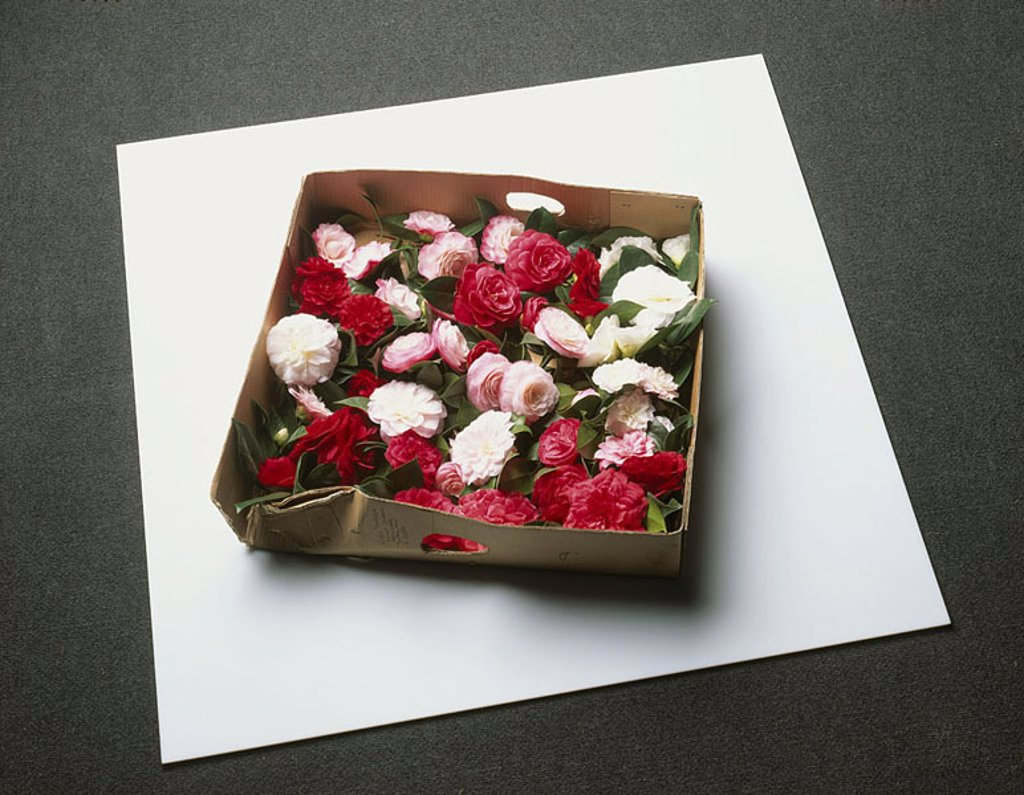 Stock Photo: 1558-109158 Carton, camellia, Camellia japonica, blooms, differently-colorfully, from above, carton, shoe-carton, plants, flowers, ornament-plants, ornament-flowers, prime, blooms, red, pink, white, symbol, ornament, decoration, quietly life, fact-reception, free-pla