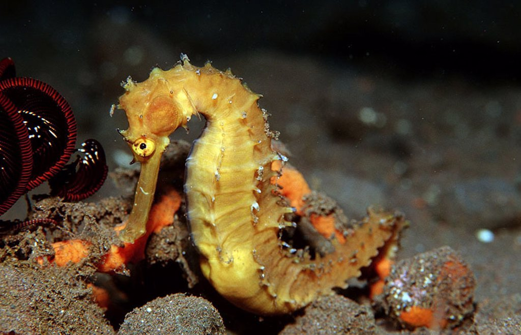 Indian ocean, underwater-reception, thorny sea-horse-little, hip-fanny-campus histrix underwater-world animal sea-bull fish, bone-fish, Thorny seahorse, : Stock Photo