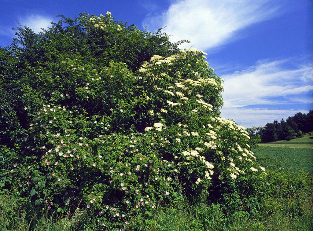 Field-edge, shrub, elderberries, Sambucus nigra, hedge-rose, Rosa Canina, prime, meadow, elderberry-shrub, elderberry-blooms, salvation-plant, dog-rosebush, hedge-roses, blooms, nature, season, cloud-heavens, : Stock Photo