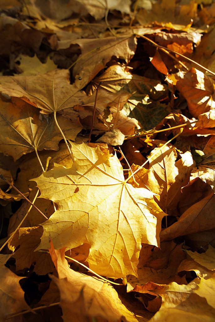 Fall foliage, maple-leaves, light, shadows, nature, leaves, multiplicity, maple-foliage, maple, foliage, wilted, yellow, fallen lies, in confusion, scatters, colorfully, autumn-colors, colors, autumn-coloring, autumnal, season, transience, autumn, autumn- : Stock Photo