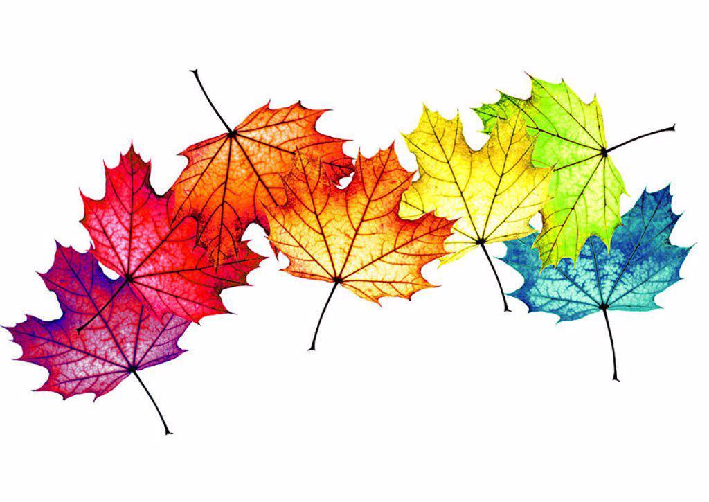 Stock Photo: 1558-114580 Fall foliage, maple-leaves, colorfully, scatters, M, leaves, maple, foliage, fallen, colorfully, colors, different, in confusion, color-splendor, color-variety, rainbow-colors, autumn-coloring, color-spectrum, color-palette, autumnal, autumn-mood, autum