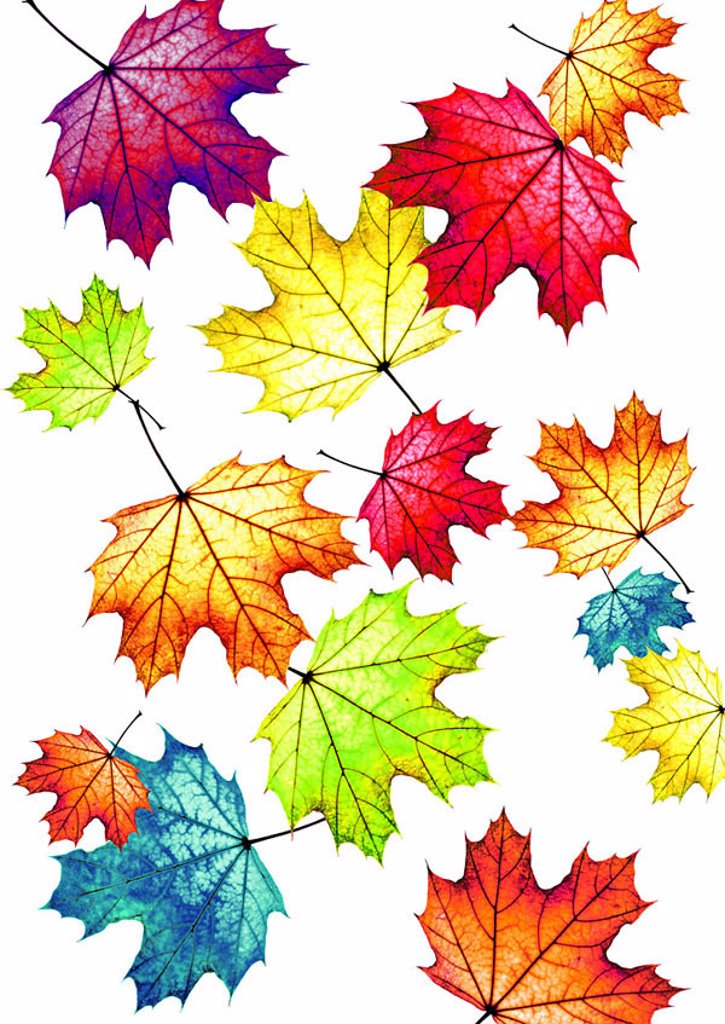Fall foliage, maple-leaves, colorfully, scatters, M, leaves, maple, foliage, fallen, extended, big, small, size-difference, colorfully, colors, different, in confusion, color-splendor, color-variety, rainbow-colors, autumn-coloring, color-spectrum, colo : Stock Photo