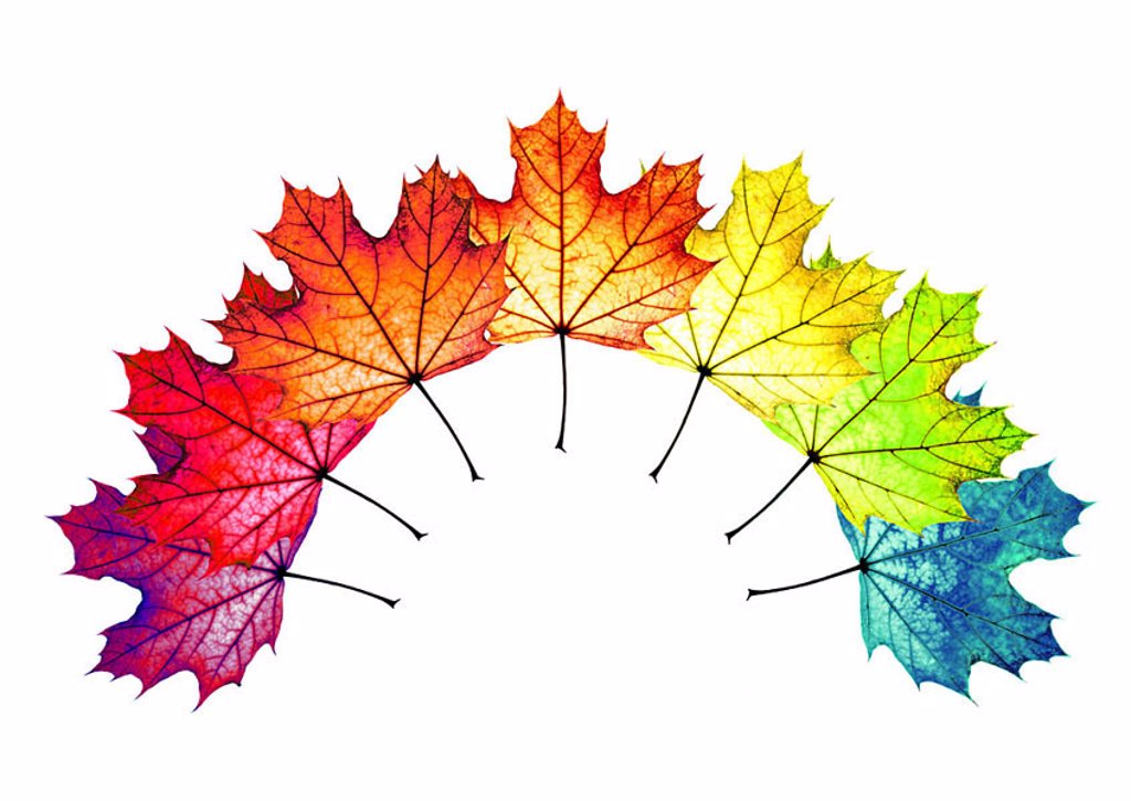 Fall foliage, maple-leaves, colorfully, aufgefächert, bow, M, leaves, maple, foliage, fallen, colorfully, color-splendor, autumnal, colors, different, color-variety, arched, color-palette, strung rainbow, rainbow-colors autumn-coloring color-spectrum au : Stock Photo