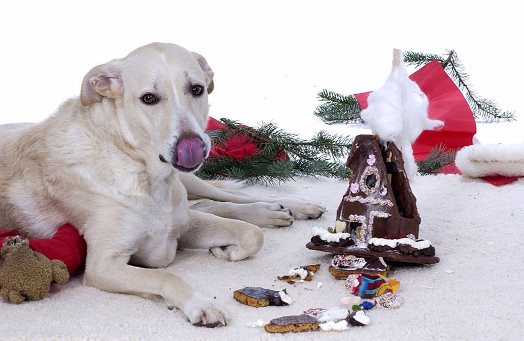 Lies dog, floor, gingerbread-house, destroys, Christmas, Christmas time, eat Advent-time, animal, pet, indoors, at home, ground, carpet, however naughtily, bad-mannered, ill-mannered, education, broken, eats, finishes, fresh, inquisitive, crumbs, tongue, : Stock Photo