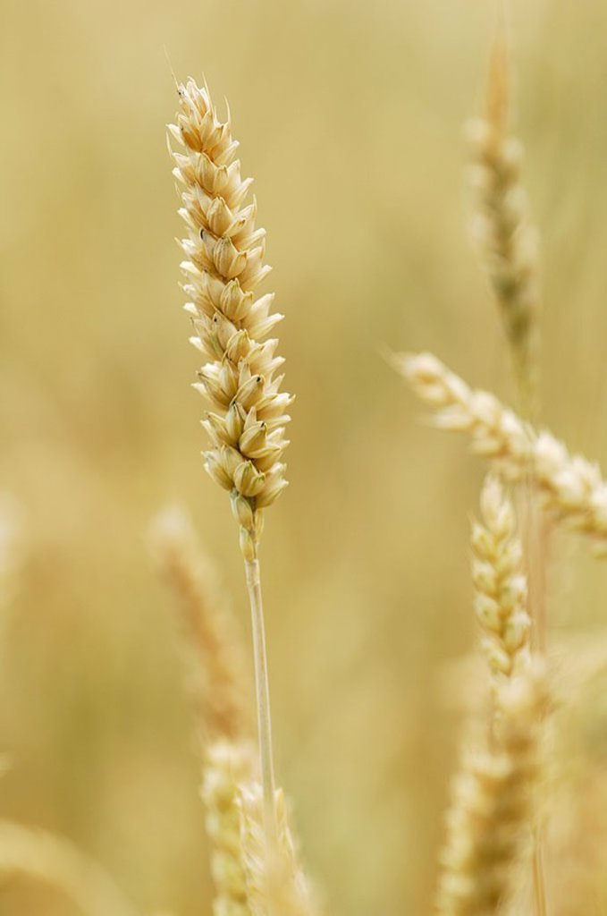 Wheat-field, Triticum aestivum, detail, heads, ripe, grain-field, plants, useful plants, culture-plants, grain-cultivation, wheat-cultivation, cultivation, wheat, grain, wheat-heads, agriculture, field-economy, agrarian-economy, ground-utilization, agricu : Stock Photo