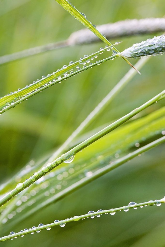 Grass, dewdrops, detail, series, nature, botany, vegetation, grass, grass-stalks, plant-leaves, leaves, wet, water, water-drops, dew, drops, concept, mornings, time of day, daybreak, moisture, naturalness, freshness, purity, symbol, growth, leaf-green, ch : Stock Photo