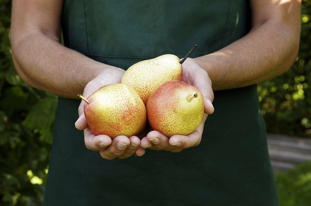 Stock Photo: 1558-118097 Garden, woman, garden-apron, detail, hands, pears, kind ´trout´, harvested, picked, presents, autumn, agriculture, horticulture, gardening, orchard, gardener, apron, with pride, culture-plants, fruit-growing, cultivation, fruit, fruits, kernel-fruit, trou