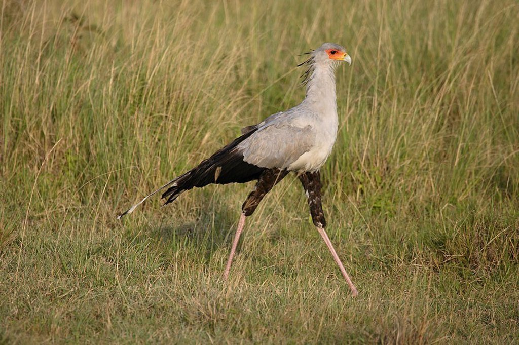 Grass, savanna, secretary, Sagittarius serpentarius, at the side, Africa, Kenya, Samburu, wildlife, wilderness, Wildlife, animal, bird, gripping-bird, Secretary Bird, : Stock Photo