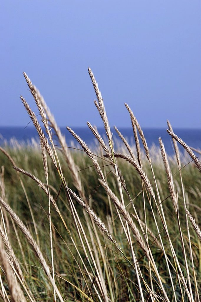 Beach-dune, grass, detail, summers, beach, nature, dune, beach-oat, botany, nature, vegetation, breezy, wind, heavens, cloudless, outside, summers, : Stock Photo