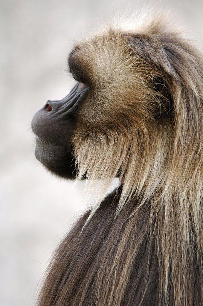 Stock Photo: 1558-122950 Blood-breast-baboon, Theropithecus gelada, males, profile, animal-portrait, animal, mammal, monkey, sea-cat, Dschelada, baboon, bare-breast-baboon, zoo, zoo-animal, habitat, captivity,
