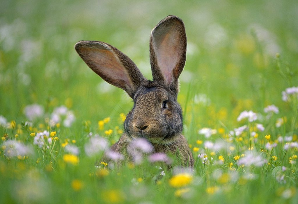 Stock Photo: 1558-122958 Meadow, hare, vigilance, grass, flowers, flower-meadow, animal, mammal, rabbits, rabbit-race, race-rabbits, breeding-rabbits, ´German giant´, stall-hare, animal-attitude artgerecht, summers, outside, ears, perception,