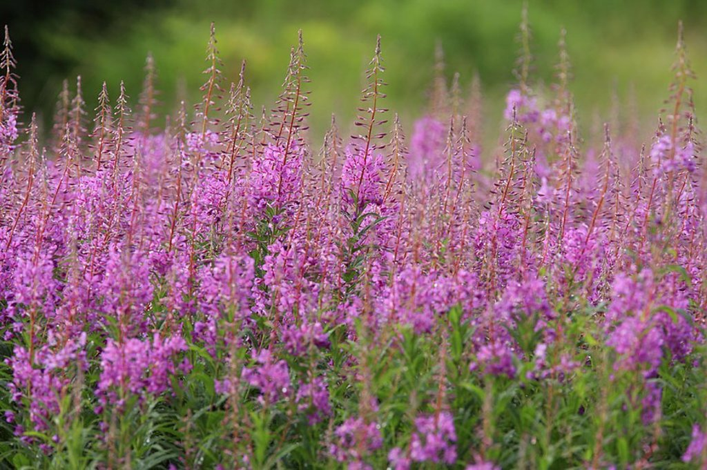 Stock Photo: 1558-123249 Alaska, Schmalblättriges Weidenröschen, Epilobium angustifolium, blooms, summers, North America, meadow, vegetation, plants, night-candle-plants, game-plants, game-flowers, salvation-plants, tree, flowers, bloom-grapes, blooms, violet, purple, green, Fire