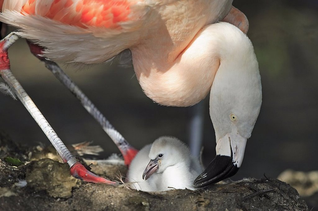 Stock Photo: 1558-124641 Chile-flamingos, Phoenicopterus chilensis, parents-animal, chicks, nest, animals, two, birds, gets along Nistplatz plover-birds, waterfowls, flamingos, alto-bird, squab, flamingo-chicks, bird-chicks, Nisthügel Aufzucht welfare care protection, animal-fami