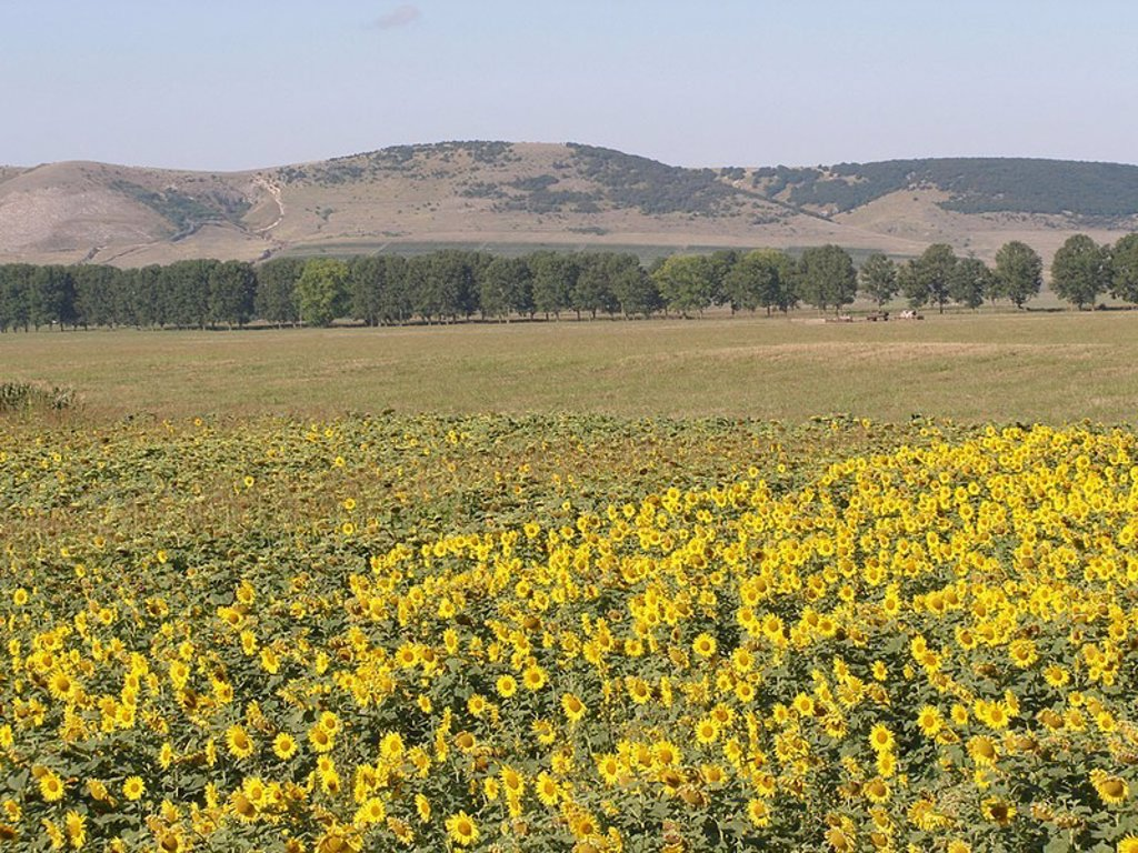 Romania, Dobrudscha, field, sunflowers, avenue, hill-landscape, southeast-Europe, Balkan peninsula, agriculture, field-economy, cultivation, sunflower-cultivation, sunflower-field, avenue-trees, hills, landscape, nobody, human-empty, : Stock Photo