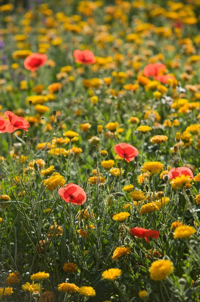 Stock Photo: 1558-131721 flower meadow, detail, Italy, island, Sicily, island Sicily, Taormina San Domenico Palace hotel, garden, hotel-garden, grounds, plants, flowers, blooming, flowerage, poppies, dandelion sea of flowers deserted, sunny, outside, fuzziness,. flower meadow, detail, Italy, island, Sicily, island Sicily, Taormina San Domenico Palace hotel, garden, hotel-garden, grounds, plants, flowers, bloom, bloom-splendor, poppies, dandelion sea of flowers deserted, sunny, outside, fuzziness,