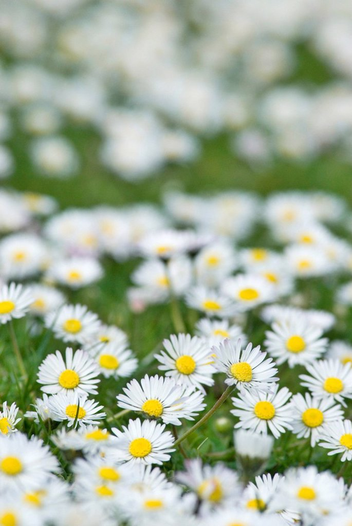 flower meadow, daisies, Bellis perennis, fuzziness, nature, flora, vegetation, botany, meadow, flowers, daisy-meadow, blooming, knows, sea of flowers, season, summer, flowerage,. flower meadow, daisies, Bellis perennis, fuzziness, nature, flora, vegetation, botany, meadow, flowers, daisy-meadow, bloom, knows, sea of flowers, season, summer, bloom-splendor, : Stock Photo
