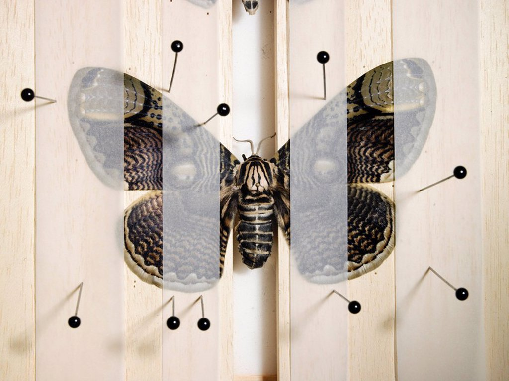 Butterfly, moths, Brahmaea hearseyi, instep-board, preparation, fixes Asia, China animals insects big-butterfly butterflies, Bombycoidea, Brahmaeidae, Brahmaspinner, wings, filigree, wing-drawing, pattern, brown, aesthetics, beauty, camouflage, protection : Stock Photo