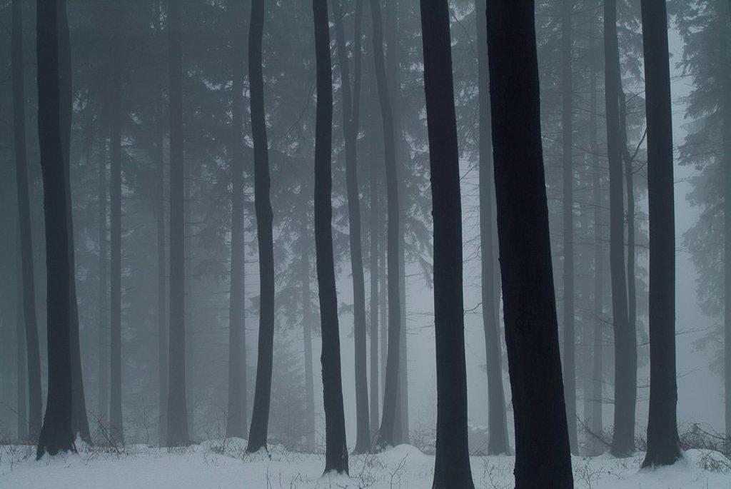 winter forest, detail, tree-trunks, fog, season, winter, forest, nature, trees, trunks, snow, twilight, foggy, deserted, immensely, eerily, outside,. Winterwald, detail, tree-trunks, fog, season, winter, forest, nature, trees, trunks, snow, twilight, foggy, deserted, immensely, eerily, outside, : Stock Photo
