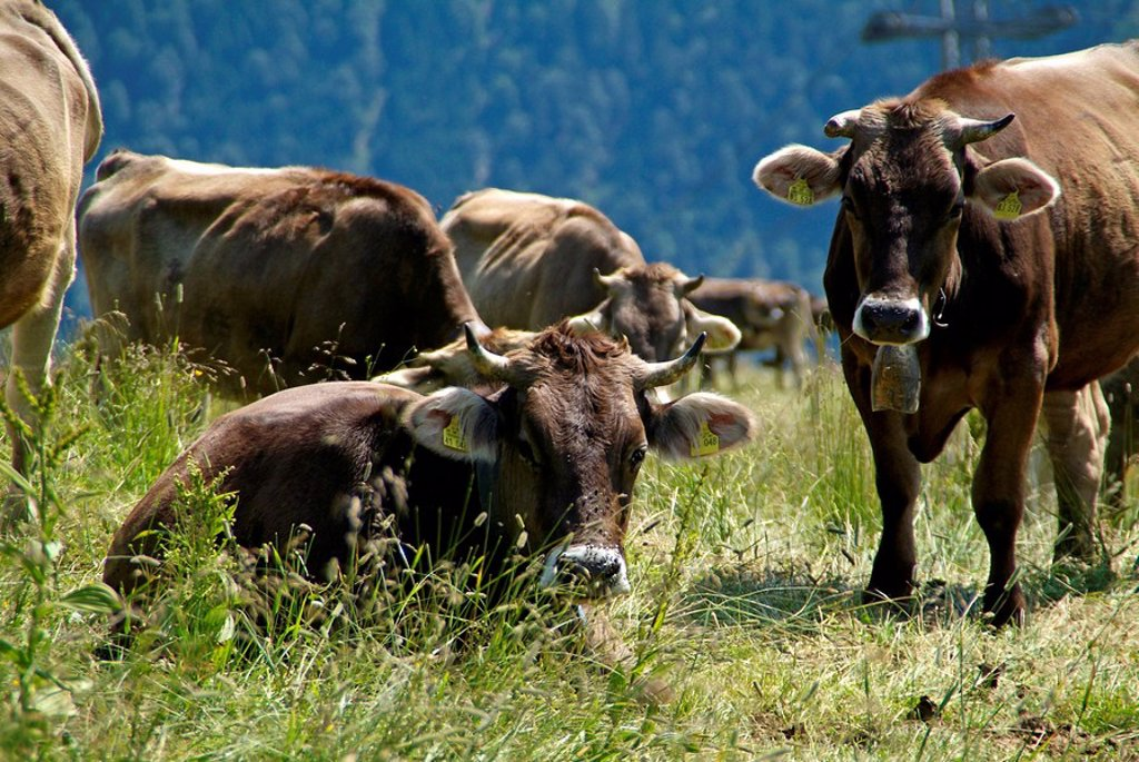 Stock Photo: 1558-143745 Germany, Oberallgäu, Oberstdorf, Fellhorn, cows, mountain_pasture