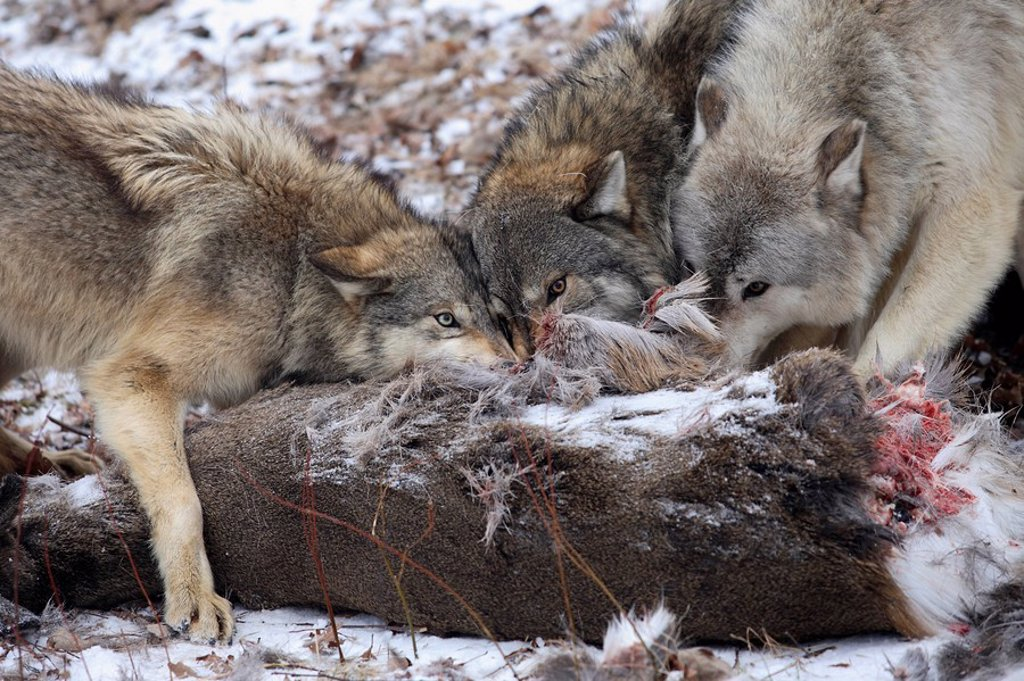 Eastern timber wolves, Canis lupus lycaon, loot, eating : Stock Photo