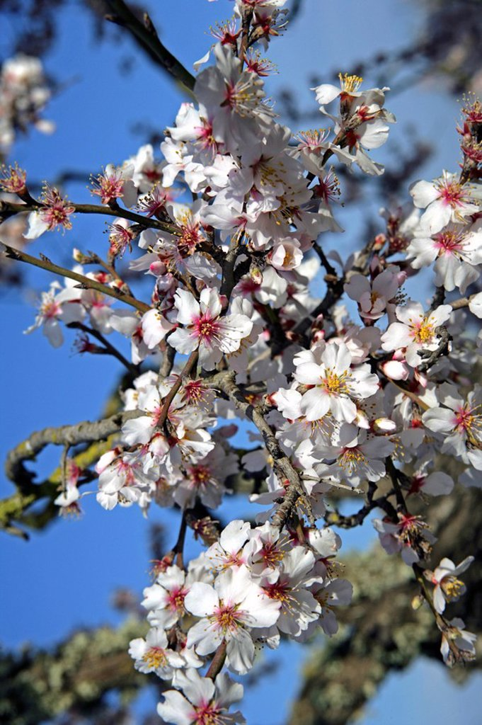 Spain, Majorca, almond_bloom, tree, branches, bloom, close_up, : Stock Photo