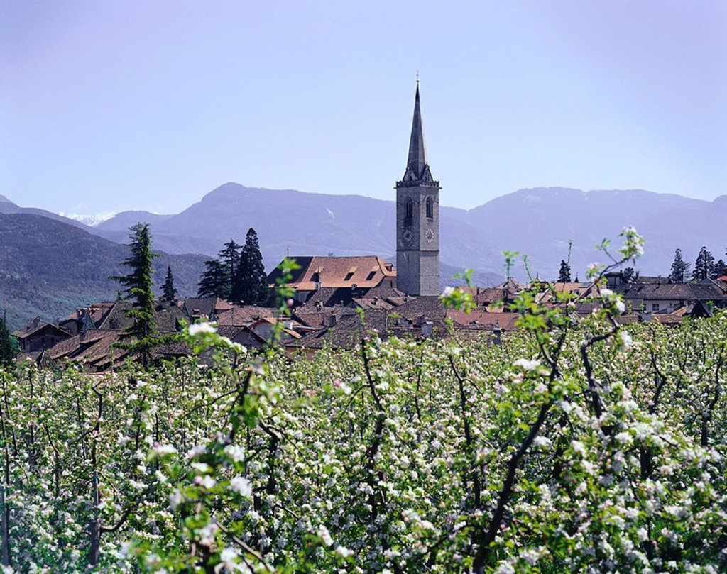 Stock Photo: 1558-145485 Italy, South_Tyrol, Kaltern, district Altenburg, church St. Vigilius, steeple, apple trees, bloom, mountains, spring, Castelvecchio, economy, agriculture, fruit_growing, cultivation_area, apple_cultivation_area, apple_plantation, plantation, plants, usefu