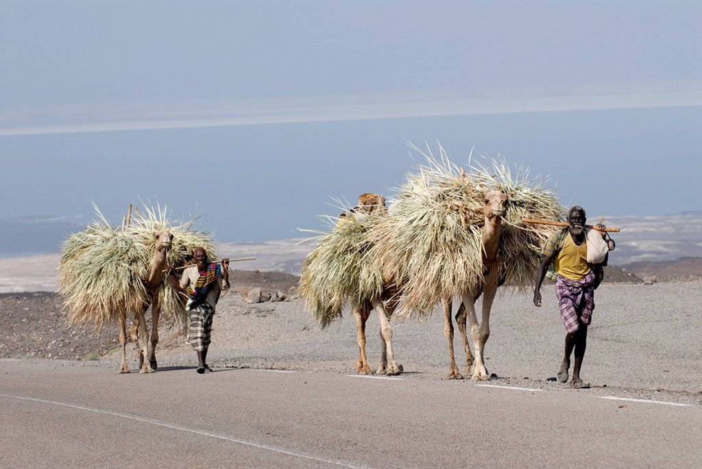 Stock Photo: 1558-146493 Dschibuti, Assal_lake, roadside, camel_caravan, Africa, East_Africa, lake,streets, people, Africans, people, colored, Bedouins, men, animals, dromedaries, camels, load_animals, transportation, grass, straw,