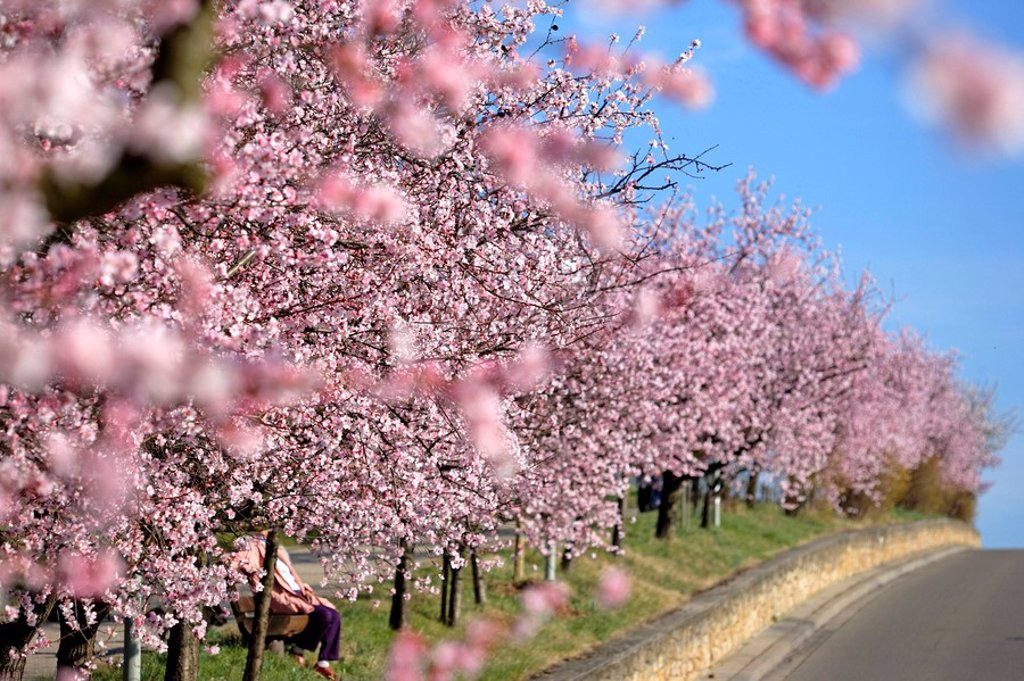 Almond_trees, bloom, : Stock Photo