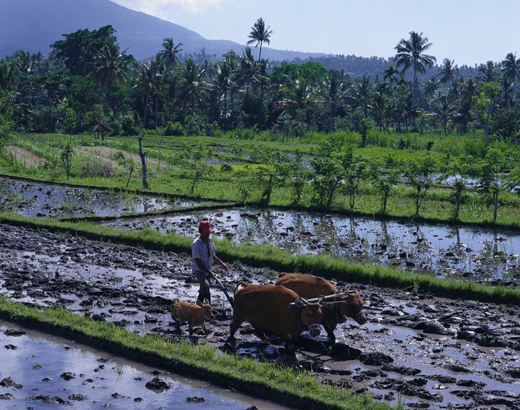 Indonesia, island Bali, paddy, farmers, cows, plows, economy, agriculture, rice_cultivation, wet_paddies, wet_rice_cultivation, field work, people, man, rice_farmers, does plow, rice animals mammals useful_animals Bali_rind, cows, calf, lots, slaves away, : Stock Photo