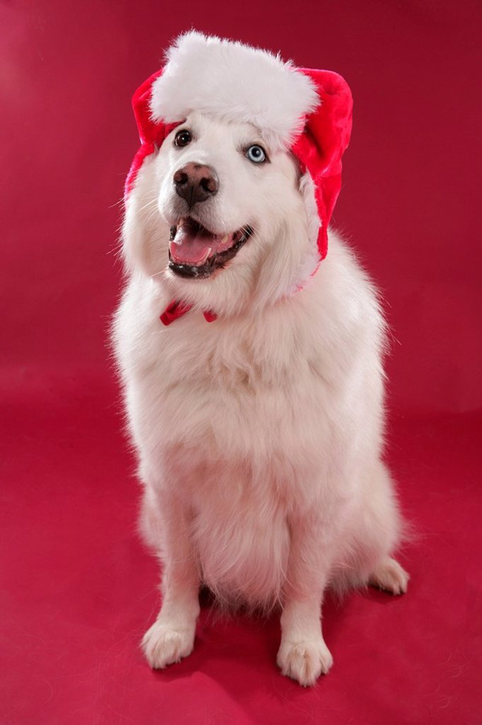 Sleigh dog, Samojede, Santa Claus cap, : Stock Photo