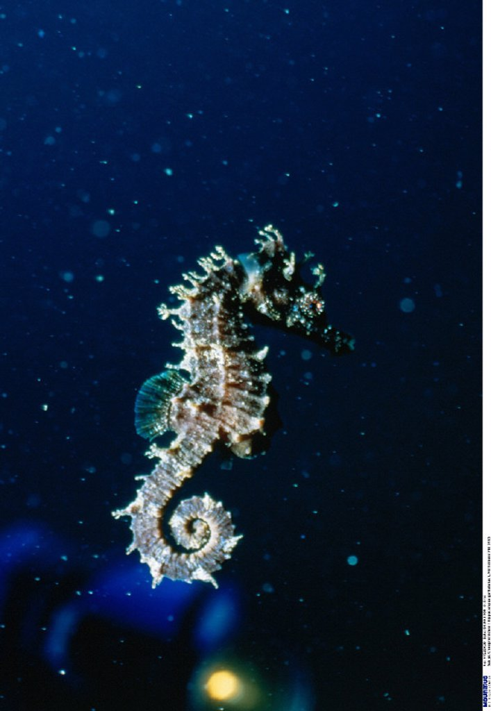 Long-snouted Seahorse : Stock Photo