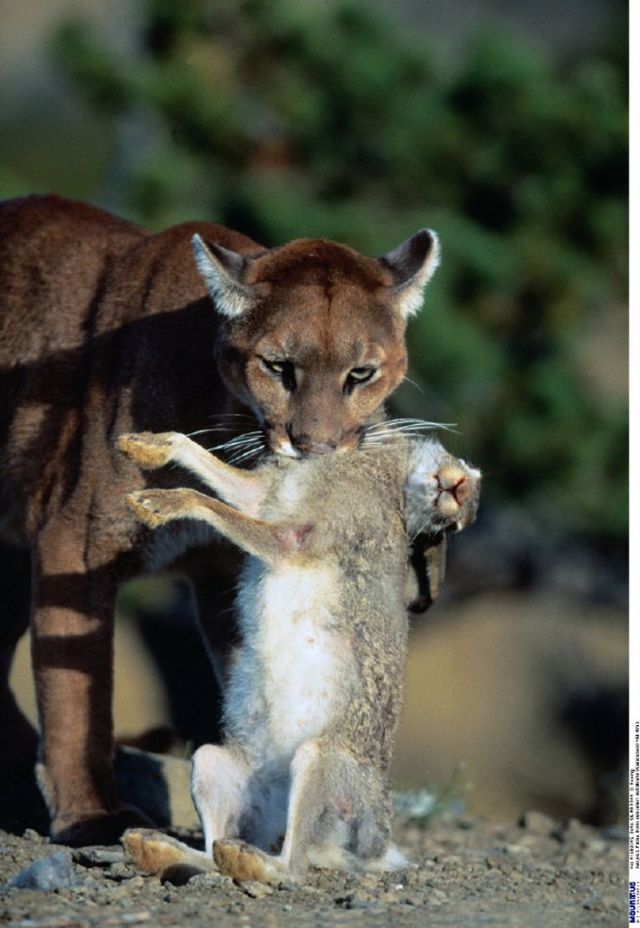 Puma, Profelis concolor, Prey, Mammals : Stock Photo