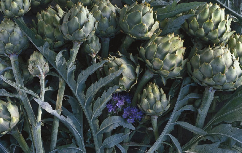 Stock Photo: 1558-51178 Artichokes, Cynara scolymus, Still life