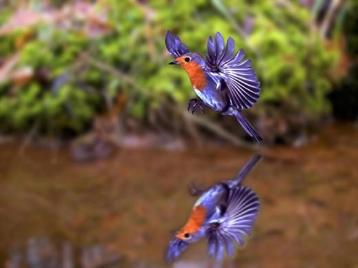 Sea, robins, Erithacus rubecula, flight, : Stock Photo