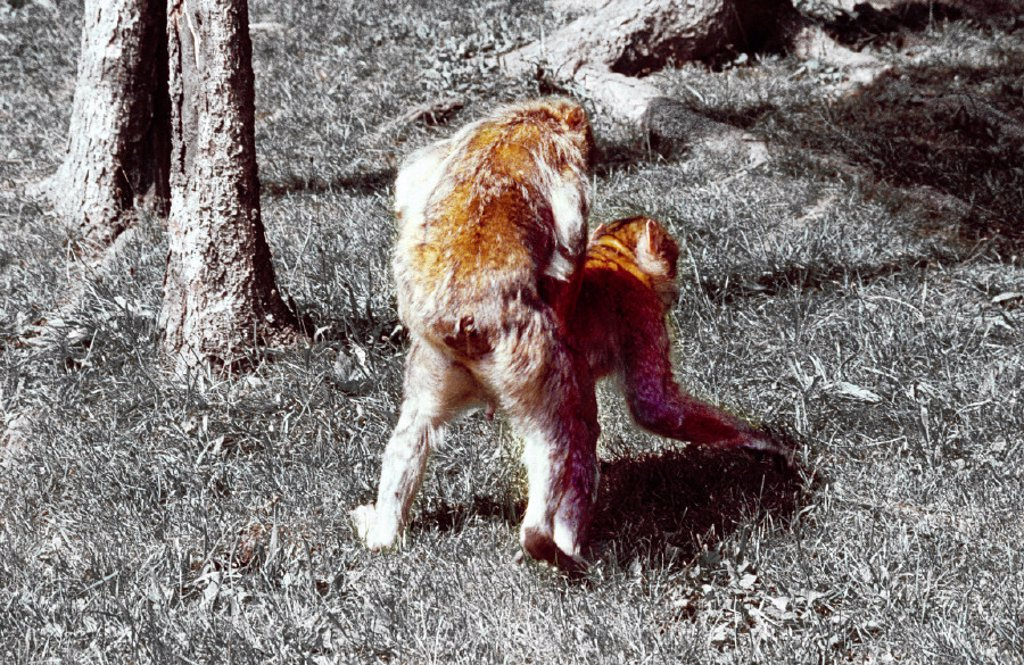 Stock Photo: 1558-55702 Forest, Berber monkeys, Macaca sylvana