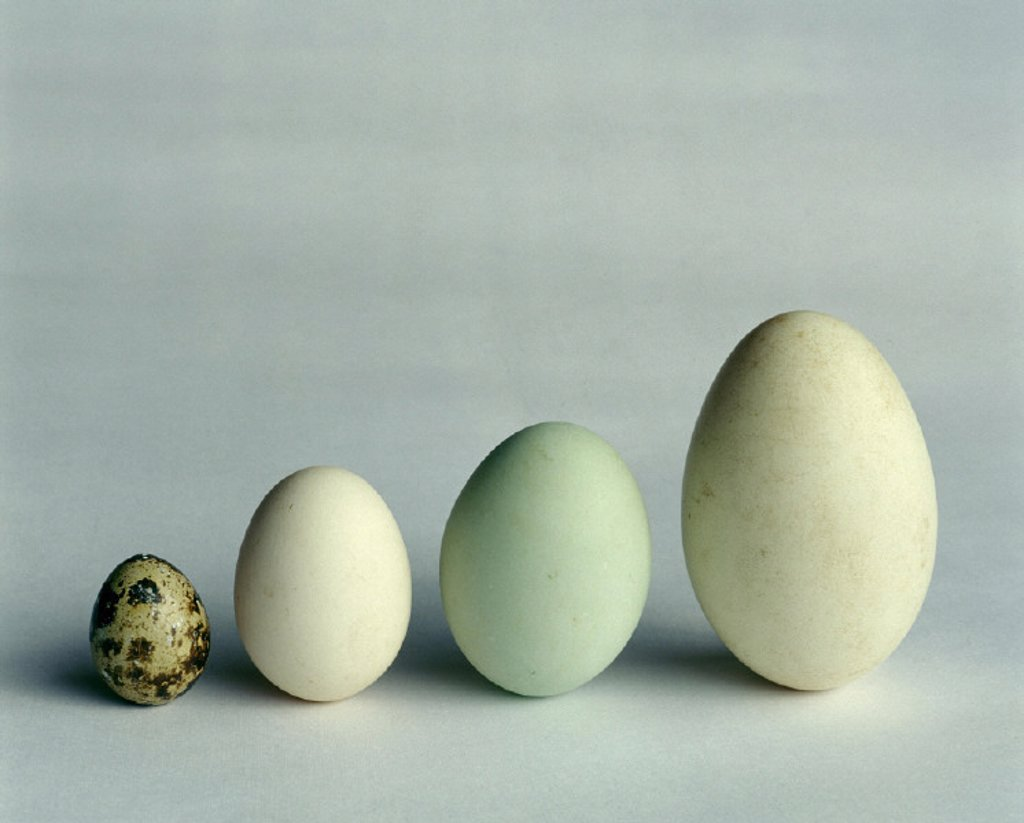 Eggs, size difference, house goose : Stock Photo
