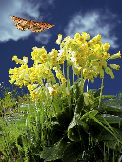 Meadow, cowslips : Stock Photo