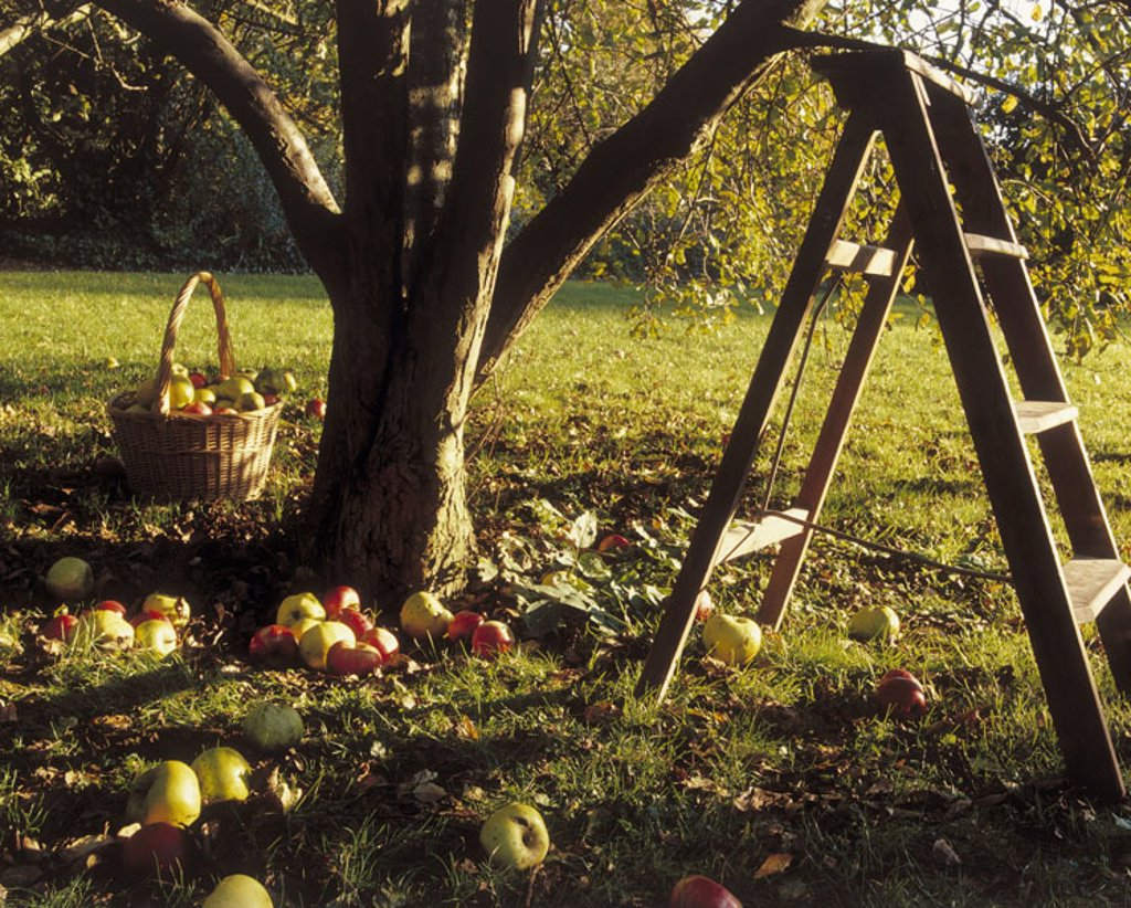 Meadow, apple tree, detail, leaders,  Apples  Harvest, apple harvest, tree, log, fruits, fruit, ripe, red, green, windfall, harvests, fruit harvest, fruit tree meadow, bedding fruit meadow, biological cultivation, bio apples, bio fruit wood leaders basket : Stock Photo