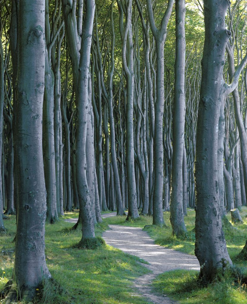 Stock Photo: 1558-61027 Germany, Mecklenburg-Western Pomerania,  Nienhagen, Gespensterwald,  Europe, Central Europe, north-east Germany, Baltic sea bath, sea resort, forest, beech forest, trees, tree-trunks, nature, vegetation, botany, deciduous forest, deciduous trees, beeches,
