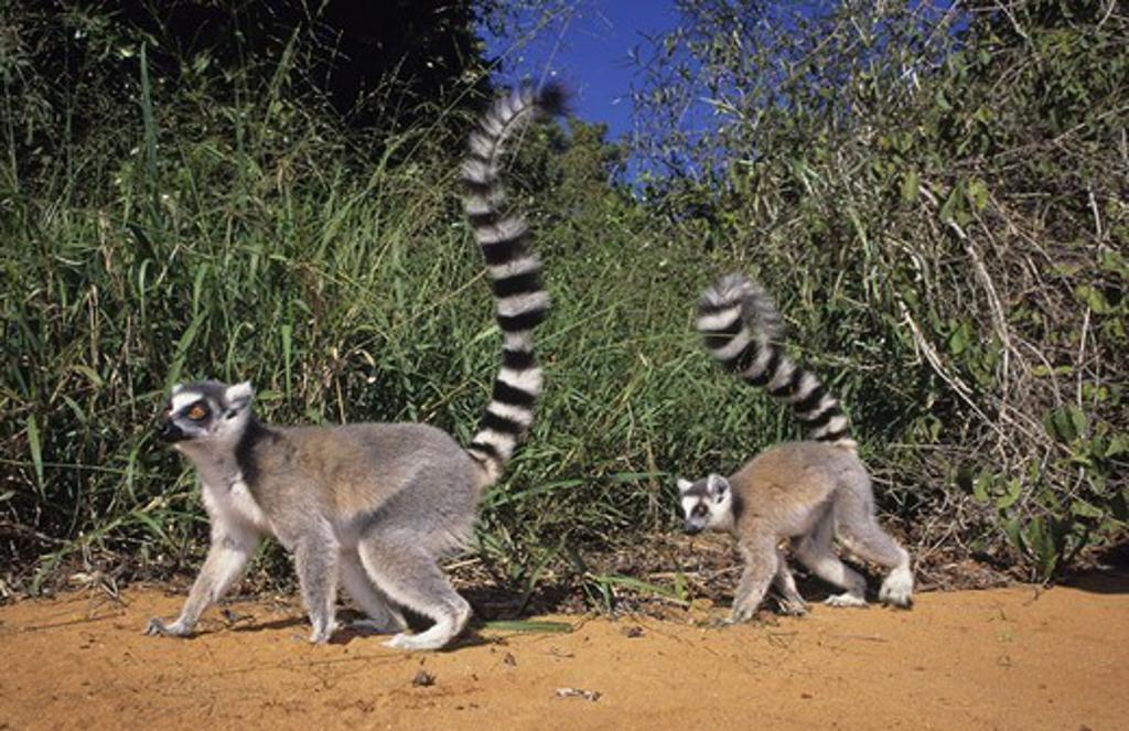 Stock Photo: 1558-63550 Madagascar, Berenty, Kattas, Lemur,  catta, running, on the side  Roved grasses, thicket, sand, nature, wildlife, grass, animals, wild animals, mammals, primates, primates, Makis, Lemuridae, half monkeys, Lemuren, tail, Ring-tailed lemur,