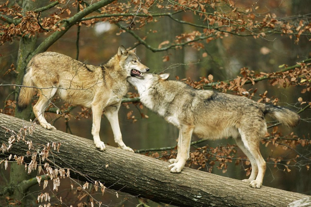 Stock Photo: 1558-63729 Forest, log, gray wolves, Canis,  lupus, fights  Nature, wildlife, animals, mammals, wild animals, carnivores, wild dogs, wolves, Canidae, whole bodies, Gray wolf, power struggle, ranking, throat bites, playing, playfully, on the side, habitat, captivity,