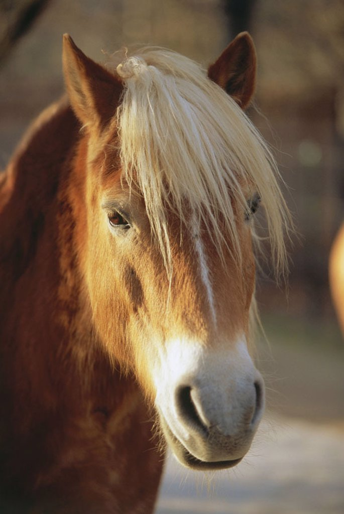Stock Photo: 1558-64681 Haflinger, portrait,   Animal portrait, animal, mammal, horse, horse race, race horse, Reitpferd, horse attitude, horse breeding, mane,